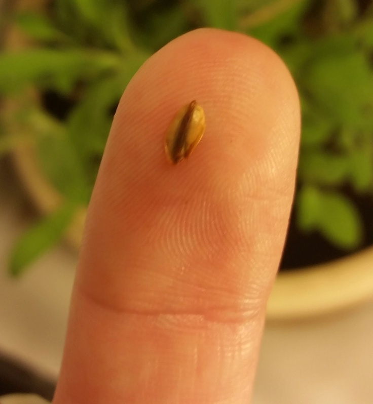 Sequoia-Seed-on-Fingertip